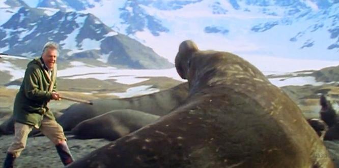 david attenborough walrus