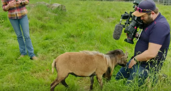BBC cameraman headbutted in the nuts by Cecil the angry sheep during his Animal Park segment (video)